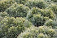 Kugelrunde Zwergkiefer Varella • Pinus mugo Varella