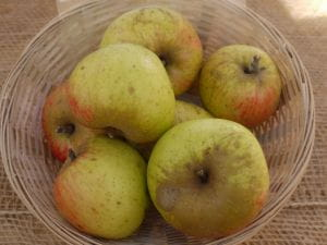 Apfel Harberts Renette • Malus Harberts Renette