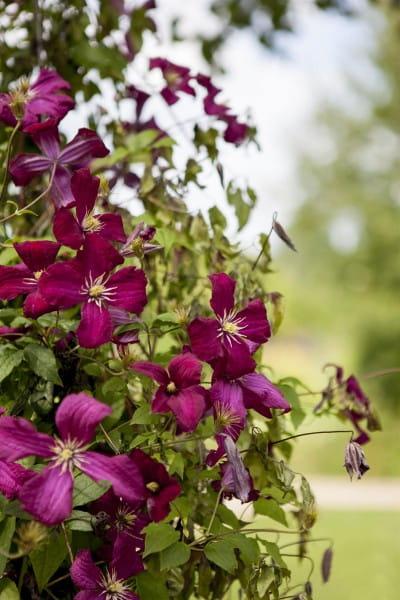 Waldrebe Mme. J. Correvon • Clematis viticella Mad.Julia Correvon