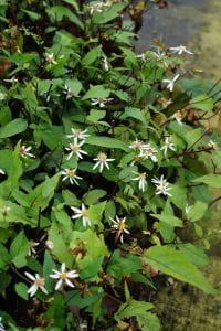 Sperrige Garten Aster • Aster divaricatus Tradescant