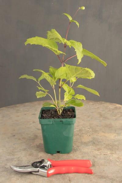 Japanische Wachsglocke • Kirengeshoma palmata