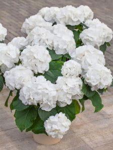 Bauernhortensie Schneeball • Hydrangea macrophylla Schneeball