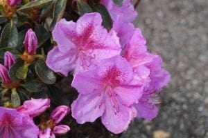Rhododendron Big Point