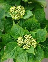 Bauernhortensie-Ballhortensie Bela • Hydrangea macrophylla Bela