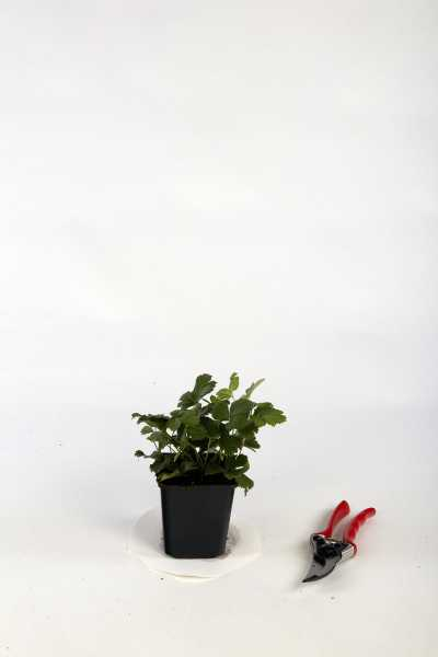 Teppich- Golderdbeere • Waldsteinia ternata