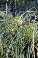 Gelbgrüne Garten-Segge • Carex oshimensis Evergold