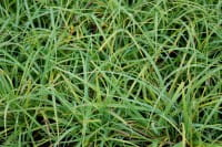 Blaugrüne Segge - Carex Flacca