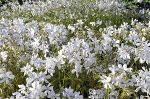 Garten-Flammenblume White Perfume • Phlox divaricata White Perfume