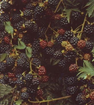 Brombeere Thornless Evergreen • Rubus fruticosus Thornless Evergreen