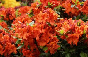 Rhododendron Gibraltar • Rhododendron luteum Gibraltar
