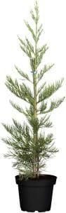 Blauer Kalifornischer Mammutbaum • Sequoiadendron giganteum Glaucum