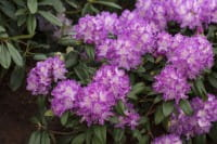 Rhododendron Alfred • Rhododendron Hybride Alfred