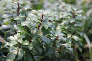 Schattenglöckchen Little Heath Green • Pierris japonica Little Heath Green