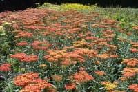 Hohe Garten Gold Garbe • Achillea filipendulina Walter Funcke
