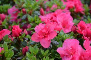 Japanische Azalee Purpurkissen • Rhododendron obtusum Purpurkissen