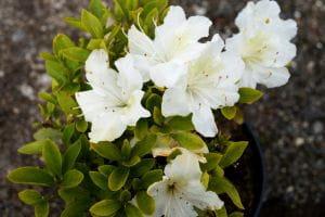Japanische Azalee Schneesturm • Rhododendron obtusum Schneesturm