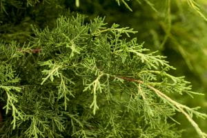 Pfitzer Wacholder • Juniperus media Pfitzeriana