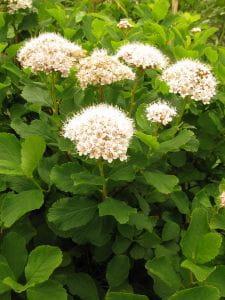 Birkenblättrige Spiere • Spiraea betulifolia