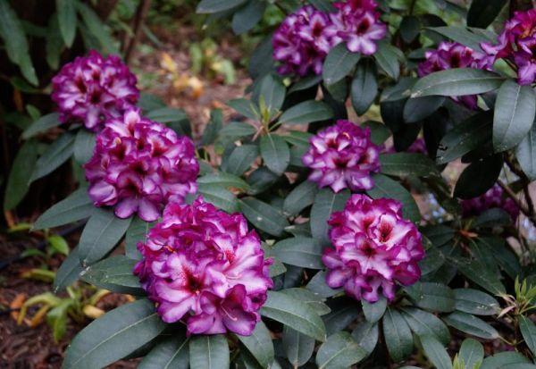 Rhododendron Hans Hachmann® • Rhododendron Hybride Hans Hachmann®