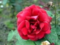 Rose Duftzauber 84 ® • Rosa Duftzauber 84 ®