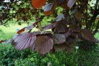 Bluthasel • Corylus maxima Purpurea
