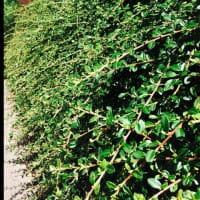 Teppichmispel Jürgl • Cotoneaster dammeri Jürgl