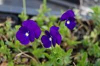 Horn-Veilchen Martin • Viola cornuta Martin