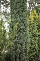 Säulen Eibe • Taxus baccata Fastigiata Robusta