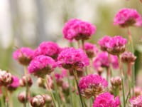 Garten Grasnelke • Armeria maritima Splendens