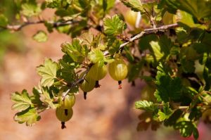 Stachelbeere Hinnonmäki gelb • Ribes uva-crispa Hinnonmäki gelb