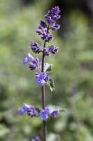 Traubige-Garten-Katzenminze Walker´s Low • Nepeta x faassenii Walker´s Low