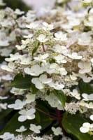 Rispenhortensie Dharuma • Hydrangea paniculata Dharuma