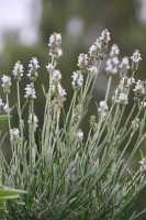 Weißblühender Garten-Lavender - Lavandula angustifolia 'Nana Alba'