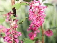 Blut-Johannisbeere • Ribes sanguineum King Edward VII