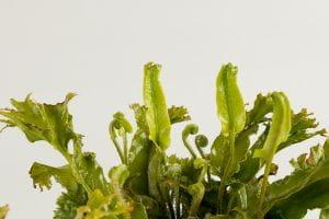 Hirschzungenfarn • Phyllitis scolopendrium