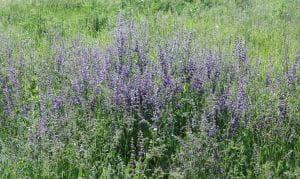 Wiesen-Salbei - Salvia pratensis