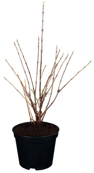 Zwerg-Duftschneeball • Viburnum farreri Nanum
