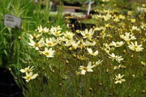 Quirblättriges Garten-Mädchenauge Moonbeam • Coreopsis verticillata Moonbeam