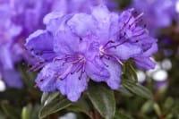 Kleinblättriger Rhododendron Saint Merryn • Rhododendron impeditum Saint Merryn