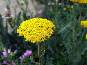 Hohe Garten Gold Garbe • Achillea filipendulina Coronation Gold
