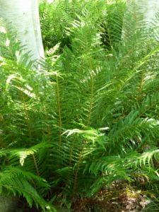Glanz-Schildfarn • Polystichum aculeatum