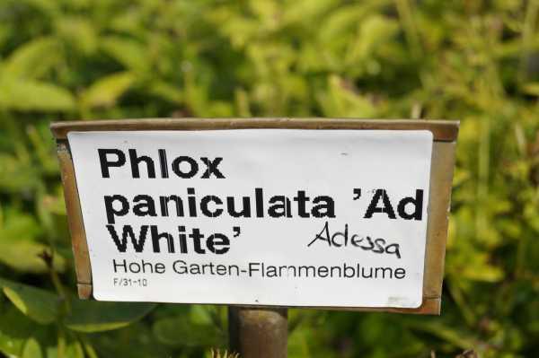 Hohe Garten- Flammenblume • Phlox paniculata Adessa White