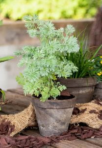 Beifuß • Artemisia vulgaris