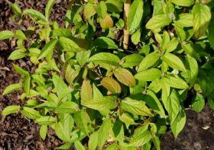 Sternchenstrauch Strawberry Fields • Deutzia hybrida Strawberry Fields
