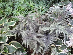 Garten-Regenbogenfarn Metallicum • Athyrium niponicum Metallicum