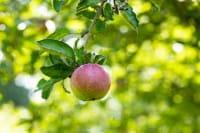 Apfel Roter Eiserapfel • Malus Roter Eiserapfel