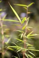 Hoher Heckenbambus • Fargesia robusta Campbell