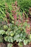 Garten-Purpurglöckchen Leuchtkäfer • Heuchera sanguinea Leuchtkäfer