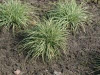 Vogelfuß-Segge Variegata • Carex ornithopoda Variegata