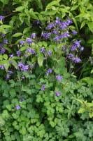 Wald - Akelei • Aquilegia vulgaris